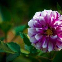 Цветочки у меня в садочке. :: Валерий Гудков