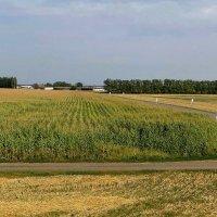 Кукурузное поле :: Татьяна Смоляниченко