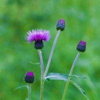 Колючий цветок :: Анатолий Иргл
