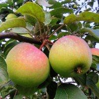 Яблочки нынешнего урожая :: Павлова Татьяна Павлова