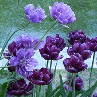 Тюльпаны :: татьяна петракова