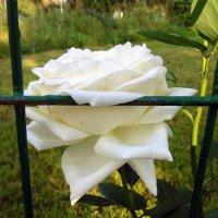 В клетке роза. :: Мила Бовкун