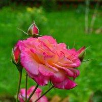 и розы нежной тонкий аромат :: Валентина Папилова