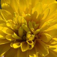 Цветок Золотой шар :: Григорьева Анжелика