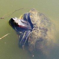 """Черепаха: """"Только один кадр!"""" :: Nina Yudicheva"""