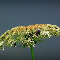 поляна для мухи :: Александр Прокудин