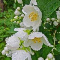 жасмин после дождя :: Елена