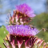 Пчелка Майя :: Сергей Острецов