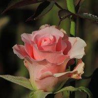 роза :: Марина Ринкашикитока