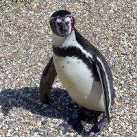 """Пингвин: """"Долго ещё так стоять?!"""" :) :: Nina Yudicheva"""