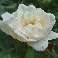 Нежность белой розы :: Нина Корешкова
