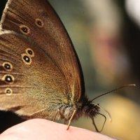 Ручная бабочка :: Darya Voronova