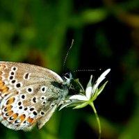 Бабочка голубянка :: Татьяна Н.
