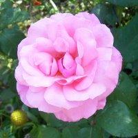 Розы, розы.розы... :: татьяна