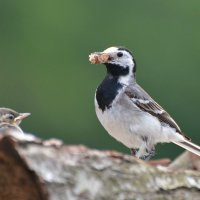 трясогузки в дровах :: linnud