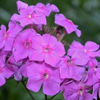 цветение :: владимир строгонов
