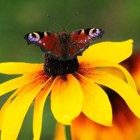 бабочка :: Игорь   Александрович Куликов
