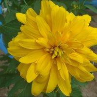 Солнечный цветок :: Нина Корешкова