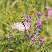 Просто бабочка :: Дмитрий Конев