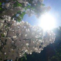 солнце в сирени :: Даша Полевая