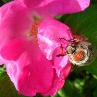 майский жук :: Даша Полевая