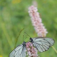 Бабочкина любовь :: Ольга Мамаева
