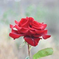 роза :: вадим измайлов