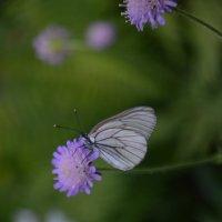 бабочка капустница - бывшая гусеница)))))) :: Yaya ***