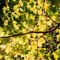 Солнечная листва :: Сергей Глотов
