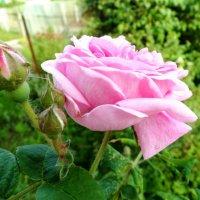 Роза :: Надежда Буденная