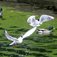 Чайки :: Анастасия Степанова