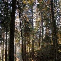 Утренний лес :: Sergei Khandrikov