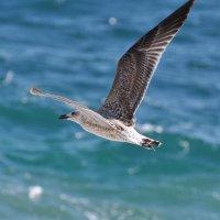Крымская чайка :: D. S.