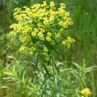 Желтый цветочек :: Ксения Бреева