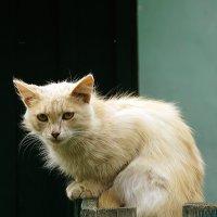 Кошак :: Дмитрий Симонов