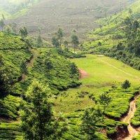 Чайные плантации. Индия. :: Мария Майданова