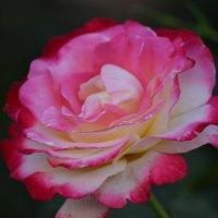 Роза :: Алла Арестова