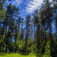 Ро́славльский лес :: Павел Данилевский