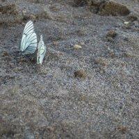 Капусницы - бабочки :: Света Слаутина