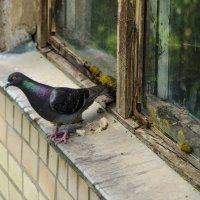 Сизый голубь :: Андрей Авраменко