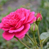Розы :: Татьяна Постольник