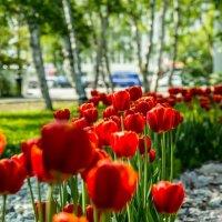 Тюльпаны :: Tanya Petrosyan