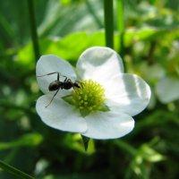 Еще мурашик :: Светлана Ковалева