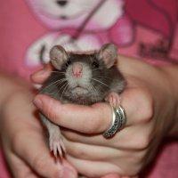 ручной крысик :: Павел Бочманов