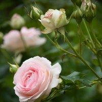 и еще роза :: Schumacher Peter