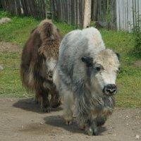 Монгольские яки :: Наталья Тимофеева