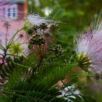 Вспоминая весну ...и ...розовую нежность стыдливой мимозы :: Людмила Богданова (Скачко)