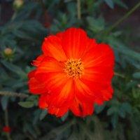 Очень яркий и красивый цветок. :: Дарья Симонова