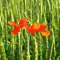 маки в поле  пшеницы. :: Ivana