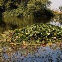 Цветущие кувшинки и дикие утки на Монастыстырском озере. :: Vladimir 070549